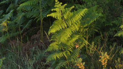 Fento común - Pteridium aquilinum