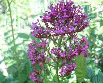Alfinetes - Centranthus ruber