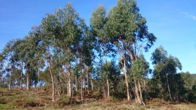 Eucalipto - Eucalyptus globolus