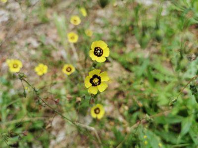 Loitosiña - Tuberaria guttata