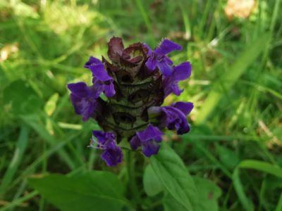 Herba do ferro - Prunella vulgaris