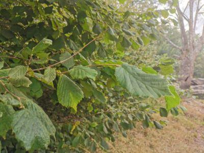 Avellano - Corylus avellana