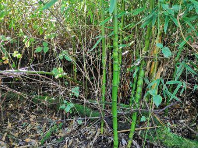 Bambú - Phyllostachys viridiglaucescens