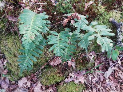 Fento das pedras - Polypodium vulgare