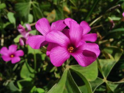 Vinagrillo rosado - Oxalis articulata