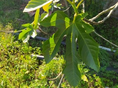 Higuera - Ficus carica