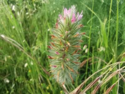 Trevo de folla estreita  - Trifolium angustifolium