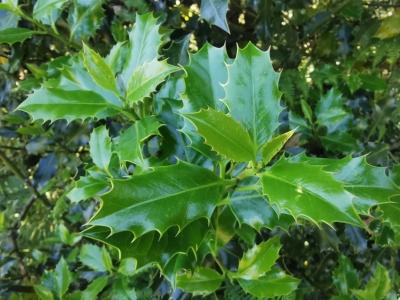 Acivro - Ilex aquifolium