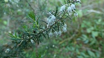 Brezo blanco - Erica lusitanica