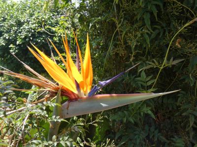 Ave del paraíso - Strelitzia reginae