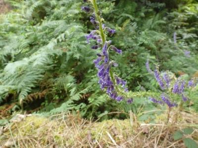 Acicates de olor - Anarrhinum bellidifolium