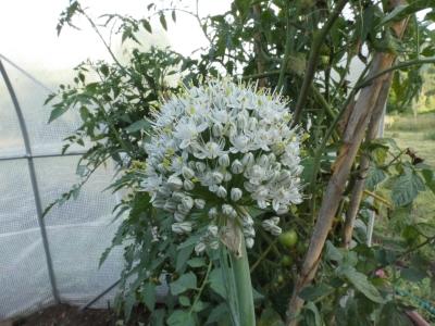 Cebolla -  Allium cepa