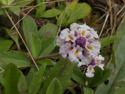 Bella alfombra - Phyla nodiflora