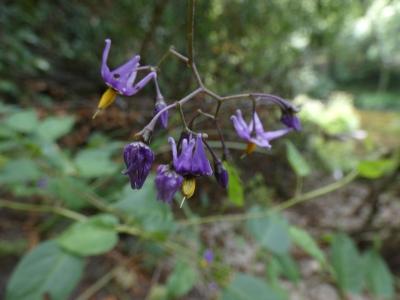 Dulcamara - Solanum dulcamara
