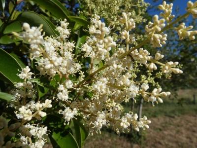 Aligustre lucido - Ligustrum lucidum
