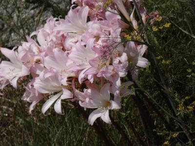 Beladona bastarda - Amaryllis belladonna