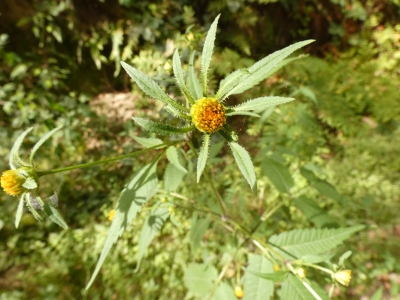 Aceitilla  - Bidens frondosa