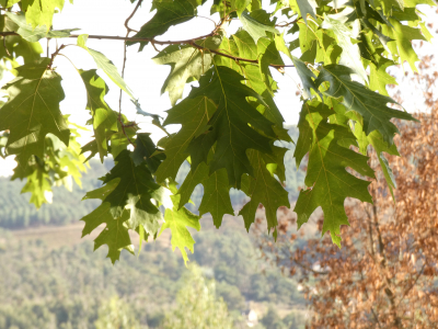 Carballo americano - Quercus rubra