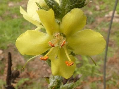 Verbasco - Verbascum thapsus