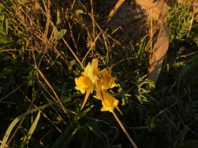 Pajaritos amarillos - Linaria polygalifolia Hoffmanns. & Link