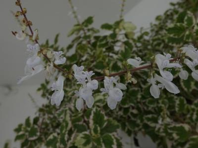 Incienso - Plectranthus coleoides