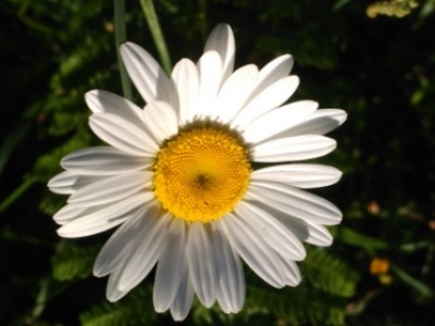 Margarita mayor - Leucanthemum vulgare