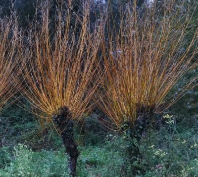 Vimbieira - Salix viminalis