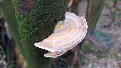 Poliporo versicolor - Trametes versicolor