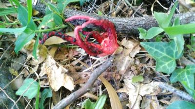 Polvo do monte - Clathrus archeri