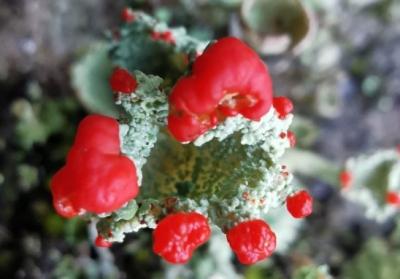 Cunca de trasno - Cladonia pleurota