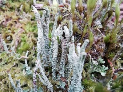 Cladonia cónica - Cladonia coniocraea