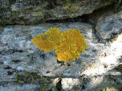 Lique laranxa - Xanthoria parietina