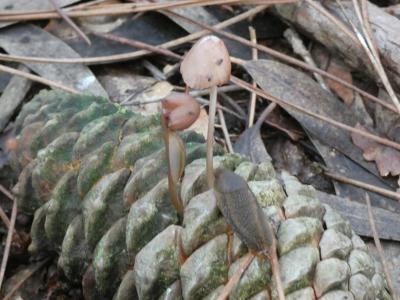 Antuca das piñas - Mycena seynii
