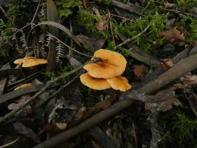 Falso rebozuelo - Hygrophoropsis aurantiaca