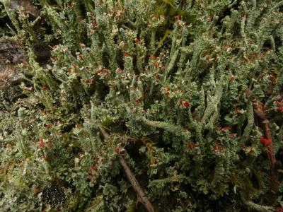 Corno de pólvora  - Cladonia coccifera