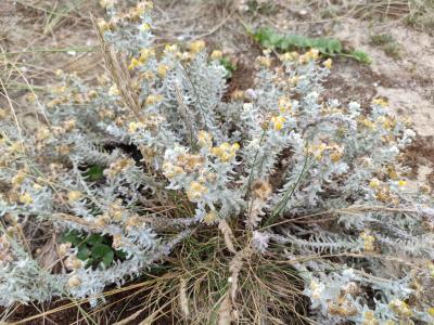 Carrasca de San Xoan - Otanthus maritimus (L.) Hoffmanns. & Link