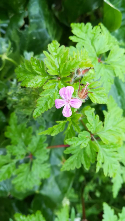 Herba da agulla - Geranium robertianum L.