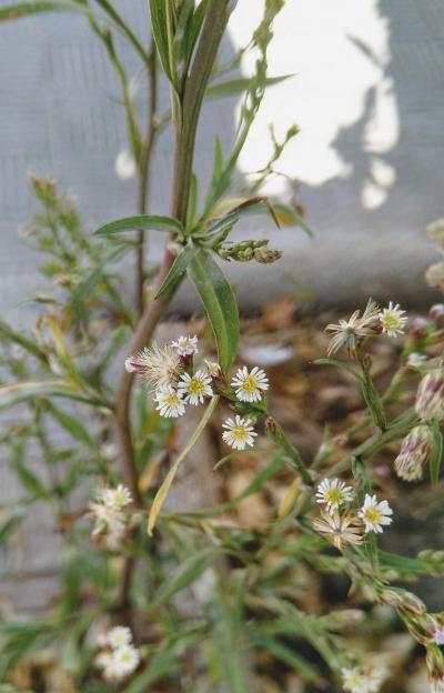 Aster escamoso - Aster squamatus (Spreng.) Hieron.