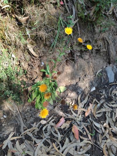 Pulicaria mediterranea - Pulicaria odora (L.) Rchb.