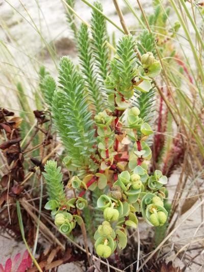 Leiteira mariña - Euphorbia paralias L.