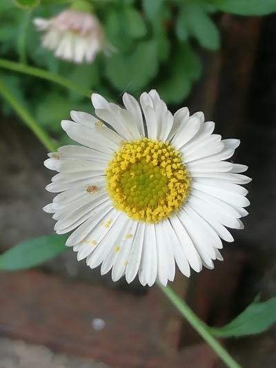 Vitadinia das floristas, Erixerón de Karvinski - Erigeron karvinskianus DC.