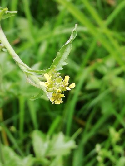 Herba dos cantores - Sisymbrium officinale