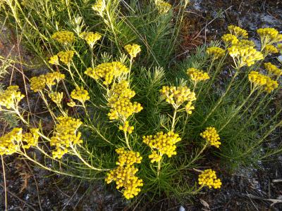 Perpetua das areas - helichrysum serotinum subsp. picardi (Boiss. & Reut.) Galbany