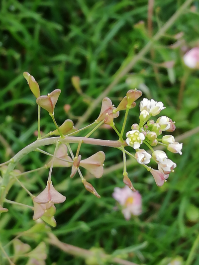 Herba dos dentes - Capsella bursa-pastoris (L.)Medik.