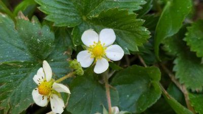 Amorote - Fragaria vesca