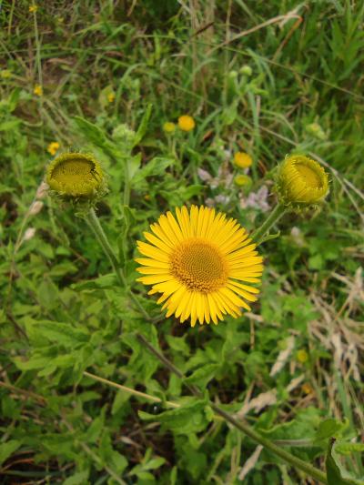 Disentérica - Pulicaria dysenterica (L.) Bernh.