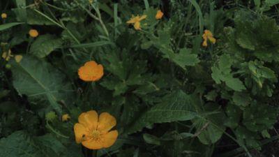 Botón de Ouro - Ranunculus repens