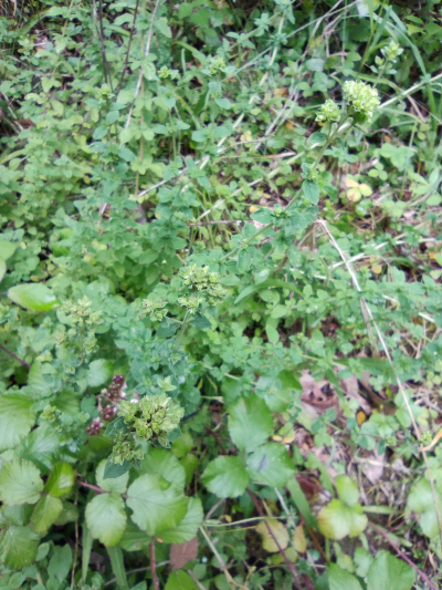 Ourego - Origanum vulgare L.