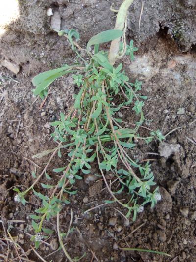 Corriola da ribeira - Corrigiola litoralis L. subsp.litoralis