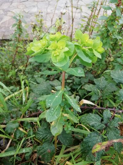 Leiteriña ollaosol - Euphorbia helioscopia L.